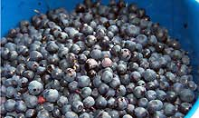 blue-berries-first.jpg